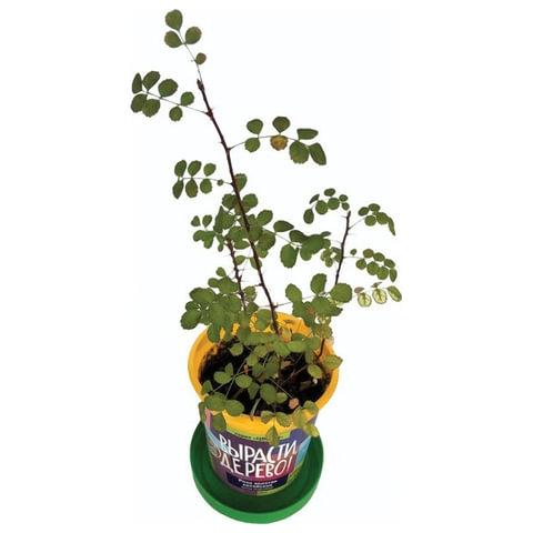 """Набор для выращивания растений ВЫРАСТИ ДЕРЕВО! """"Роза золотая китайская"""" (банка, грунт,семена), zk-062 - 2"""